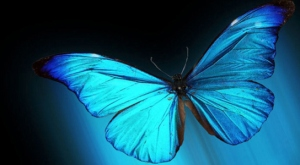 iridescent-butterfly-wings